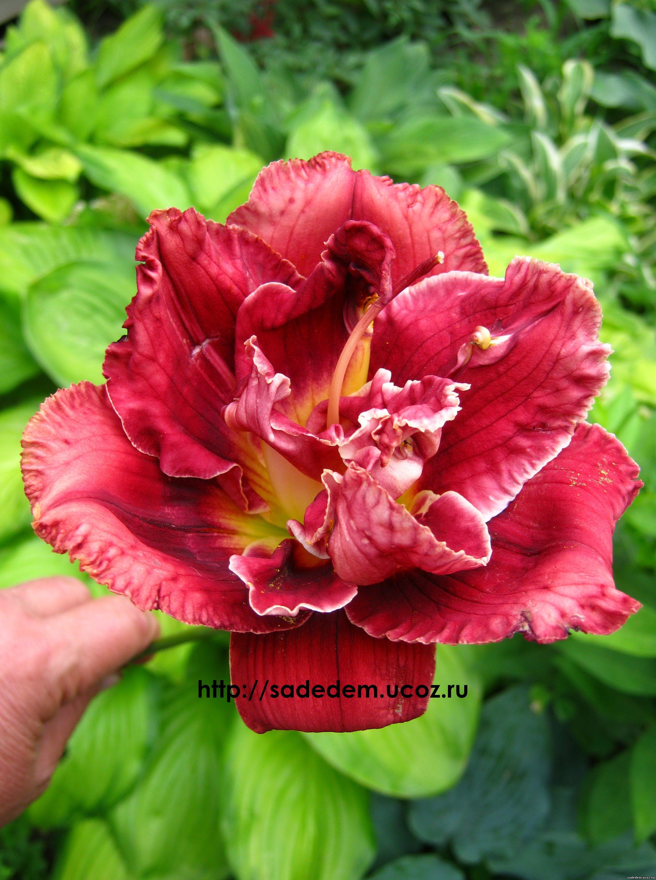 стэллар дабл роуз